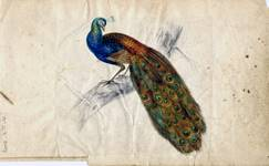 Watercolour showing peacock on a branch, painted by Coalport artist John Randall.